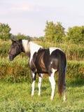 Malen Sie Stallion in der Wiese Stockfotos