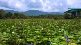 Malerische Landschaft mit Lotus Waterlily Pond und Bergen auf Hintergrund Samui Insel, Thailand stock video