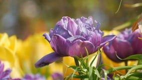 Malerische Mischung von dunklen purpurroten und gelben Tulpenblumen bl?hen im Fr?hjahr Garten Dekorative Tulpenblumenbl?te herein stock footage