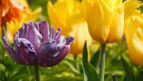 Malerische Mischung von dunklen purpurroten und gelben Tulpenblumen bl?hen im Fr?hjahr Garten Dekorative Tulpenblumenbl?te herein stock video