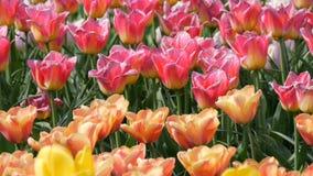 Malerische Mischung von mehrfarbigen Tulpenblumen blühen im Frühjahr Garten Dekorative Tulpenblumenblüte im Frühjahr herein stock video footage