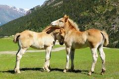 Malerische Naturlandschaft mit Fohlen Lizenzfreie Stockfotos