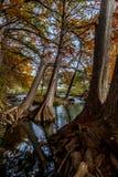 Malerische riesige Zypern-Bäume mit enormen Wurzeln. Stockfotografie