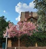 Malerischer Cherry Blossom-Baum in voller Blüte neben dem Fußgängerweg lizenzfreie stockfotografie