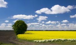Malerisches Canolafeld und einsamer Baum unter blauem Himmel mit weißen flaumigen Wolken Stockfotografie