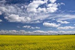 Malerisches Canolafeld unter blauem Himmel mit weißen flaumigen Wolken Stockfoto