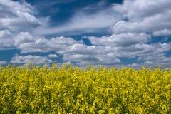 Malerisches Canolafeld unter blauem Himmel mit weißen flaumigen Wolken Lizenzfreie Stockfotos