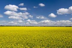 Malerisches Canolafeld unter blauem Himmel mit weißen flaumigen Wolken Lizenzfreies Stockbild