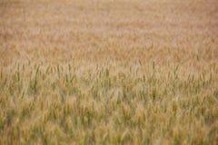 Malerisches reifes, golden-braunes Feld, gelber Weizen bei Sonnenuntergang Stockfoto