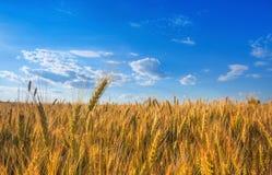 Malerisches reifes, golden-braunes Feld, gelber Weizen bei Sonnenuntergang Stockbild