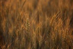 Malerisches reifes, golden-braunes Feld, gelber Weizen bei Sonnenuntergang Stockbilder