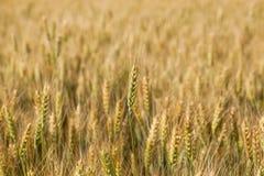 Malerisches reifes, golden-braunes Feld, gelber Weizen bei Sonnenuntergang Lizenzfreies Stockfoto