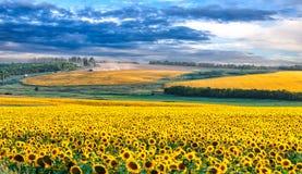 Malerisches Sonnenblumenfeld stockfoto