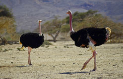 Males of African ostrich. (Struthio camelus) in Hai Bar national reserve park, 35 km north of Eilat, Israel Stock Photo