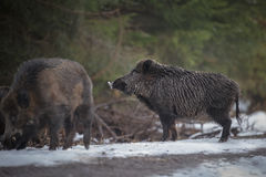 Males boars. Large boars foraging along a forest path Stock Images