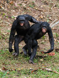 Males bonobo  mating Royalty Free Stock Photo