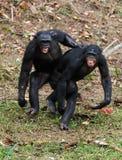 Males bonobo  mating. Two  males bonobo  mating.  Democratic Republic of Congo. Africa Royalty Free Stock Photo