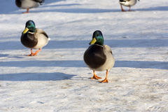Males ducks are on the snow, Sunny day. Couple of male ducks go in the snow, Sunny day Royalty Free Stock Photos