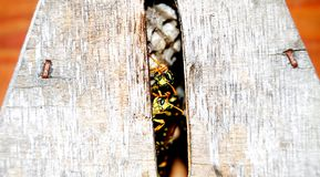 Males of european paper wasps in insect hotel royalty free stock photos
