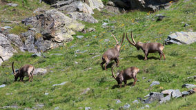 Males ibex (ibex goat). Gran Paradiso National Park Royalty Free Stock Image