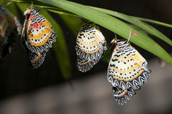 Males of Leopard Lacewing (Cethosia cyane). This is a species of heliconiine butterfly found from India to southern China (southern Yunnan) and Indochina. Its Stock Photos