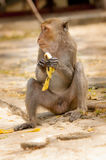 Males monkeys. Macaque monkey eating a banana delicious Royalty Free Stock Photography