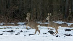 Males of Roe Deer in similiar leaps on snow in front of trees of winter wood royalty free stock photo