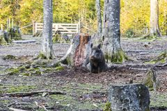Males wild-boar fighting in a forest. In autumn Stock Photo