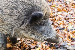 Males wild-boar fighting in a forest. In autumn Stock Photos