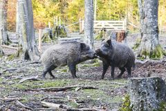 Males wild-boar fighting in a forest. In autumn Royalty Free Stock Images