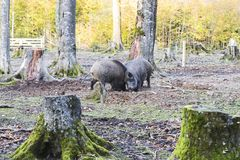 Males wild-boar fighting in a forest. In autumn Stock Photography