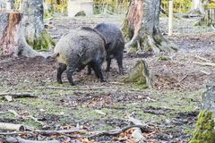 Males wild-boar fighting in a forest. In autumn Royalty Free Stock Photography