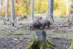 Males wild-boar fighting in a forest. In autumn Stock Image
