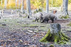 Males Wild-boar fighting in a forest. In autumn Royalty Free Stock Image