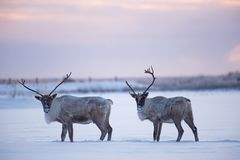 Males woodland caribous Stock Photography