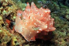 Malesso Halgerda. (Halgerda Batangas), Lembeh Strait, Indonesia Royalty Free Stock Image