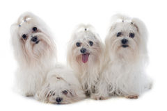 Maletese dogs. Maltese dogs in front of white background Royalty Free Stock Photography