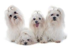 Maletese hundkapplöpning Royaltyfri Fotografi