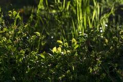 Maleza sombría con las hojas de la hierba y del arándano Fotos de archivo libres de regalías