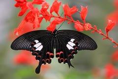 malezyjska motyla Zdjęcia Royalty Free