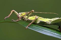 Malezyjski kija insekt (Heteropteryx Dilatata) Zdjęcie Stock
