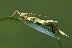 Malezyjski kija insekt (Heteropteryx Dilatata) Fotografia Stock