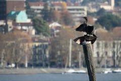 Malgrate, cormorano Fotografie Stock