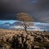 Malham Lone Tree. Dramtic light over the lone tree on the Limestone pavements above the village of Malham in the Yorkshire Dales Stock Photo