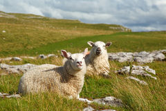 Free Malham Sheep Stock Photography - 26259222
