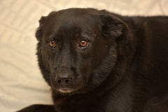 Malheureux métis de chien noir photographie stock