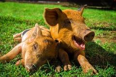 Mali łaciaści prosiaczki kłamają na trawie na słonecznym dniu obraz stock