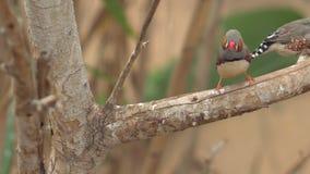 Mali Śliczni ptaki, finchs ptaki na gałąź 4k klamerka zbiory wideo