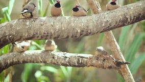 Mali śliczni ptaki, finchs ptaki na gałąź Zwolnione tempo klamerka zbiory