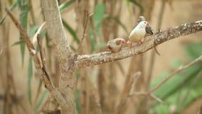 Mali śliczni ptaki, finchs ptaki na gałąź Zwolnione tempo klamerka zdjęcie wideo